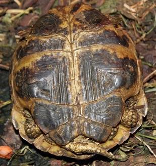mâle et femelle Agrionemys horsfieldii  Male_h12