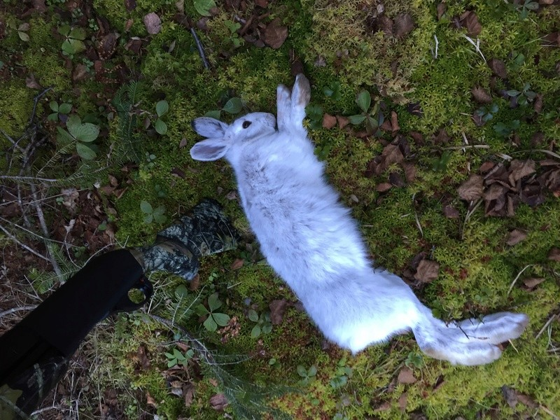 Petit gibier !! Les lièvre sont blanc ! Image10