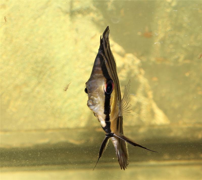 Symphysodon tarzoo rio ou lago Tefé - Page 4 29_jan10