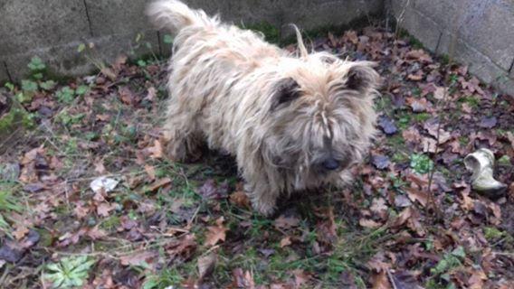 CAOLIN, mâle cairn terrier, 9 ans Caolin10