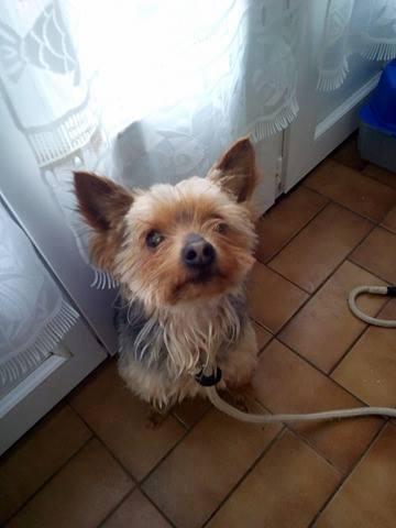 CARAMEL, mâle yorkshire terrier, 4 ans Carame11