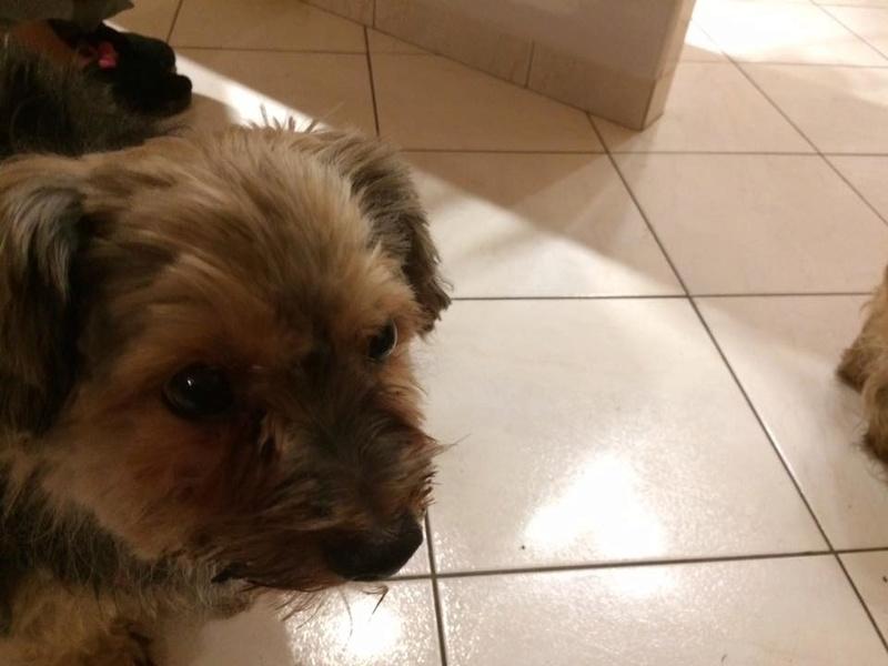 DIKI, mâle yorkshire terrier, 9 ans Diki110