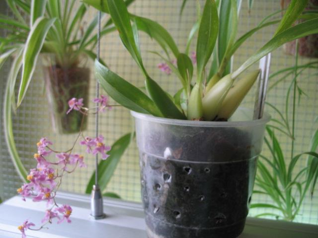 Oncidium sotoanum (syn. Onc.  ornithorhynchum hort.) Img_2212