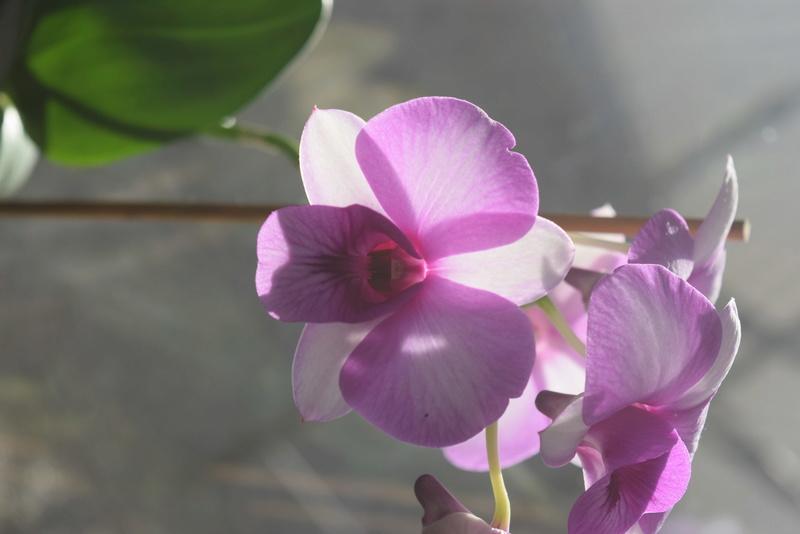 Les Dendrobium hybrides de Flo! Dsc_0310