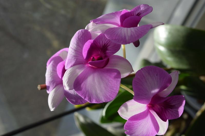 Les Dendrobium hybrides de Flo! Dsc_0311