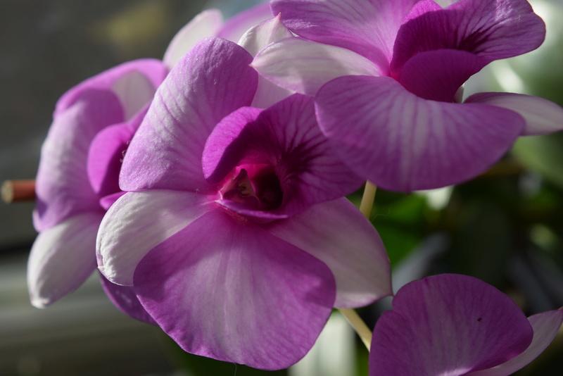 Les Dendrobium hybrides de Flo! Dsc_0312