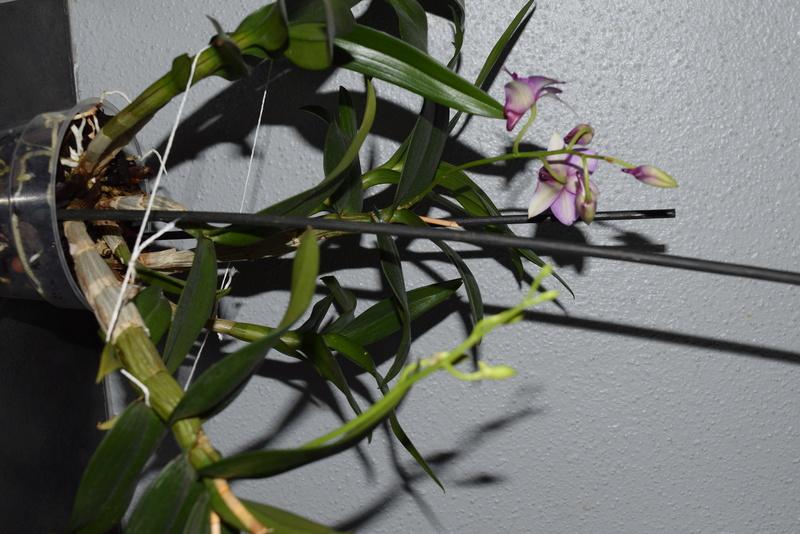 Les Dendrobium hybrides de Flo! Dsc_0510