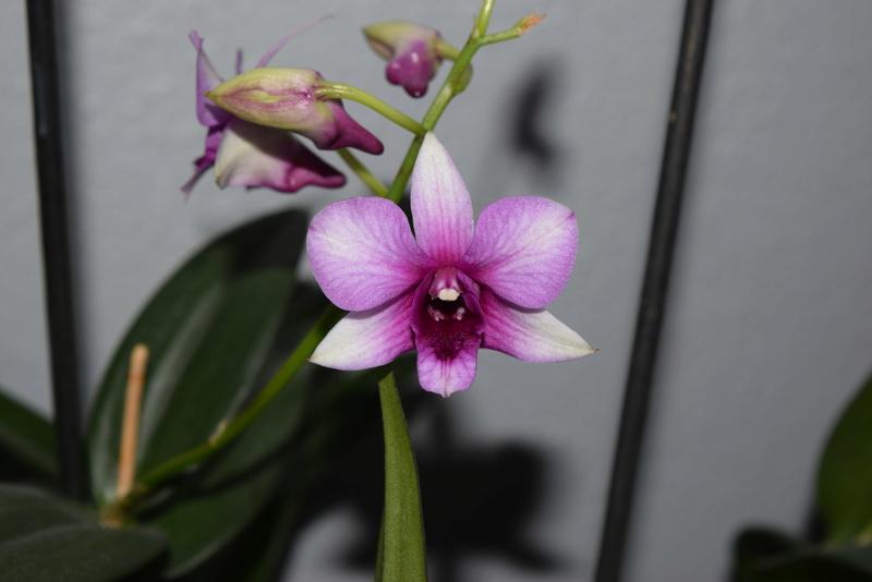 Les Dendrobium hybrides de Flo! Dsc_0511
