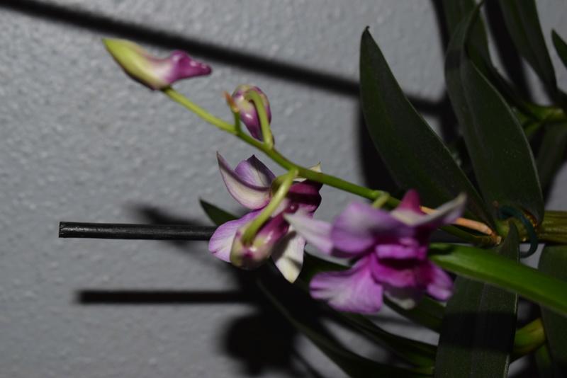Les Dendrobium hybrides de Flo! Dsc_0513