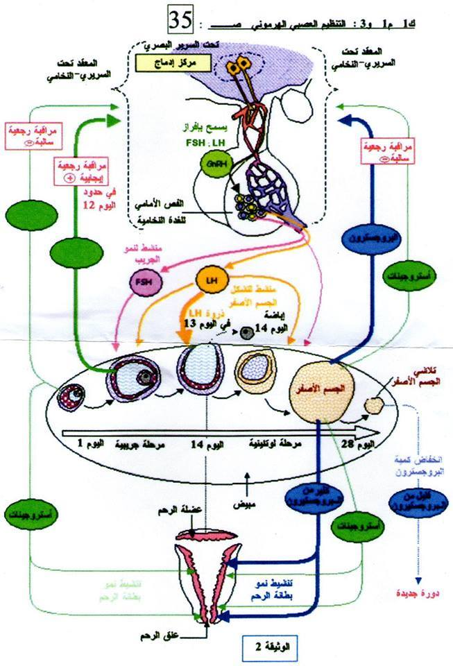 درس حول مراحل الانقسام المنصف Scienc10
