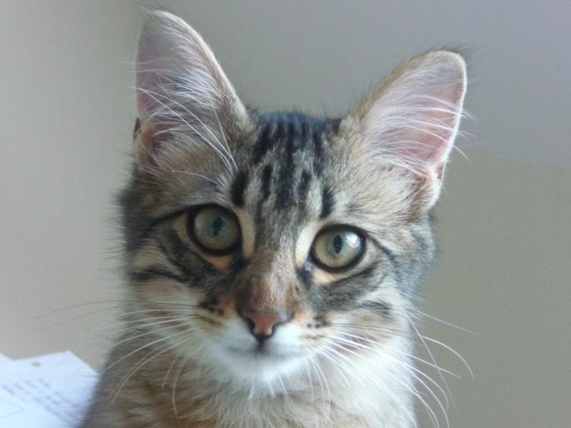 HALF, chaton tigré aux poils longs, né vers le 15 Avril 2012 P1040515