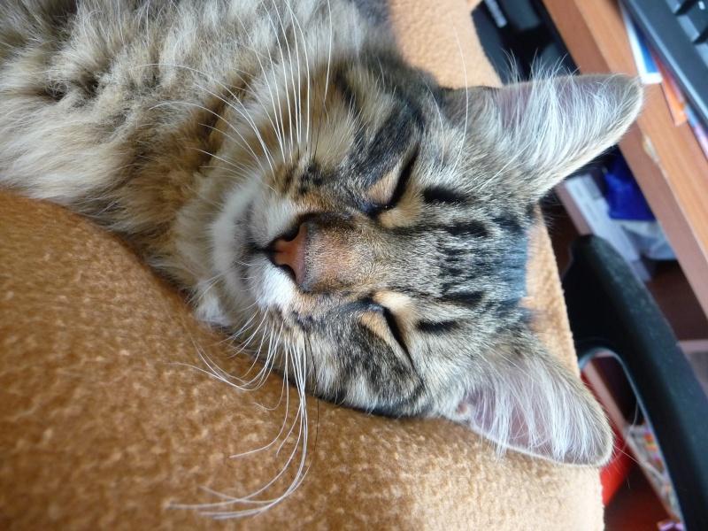 HALF, chaton tigré aux poils longs, né vers le 15 Avril 2012 P1040910