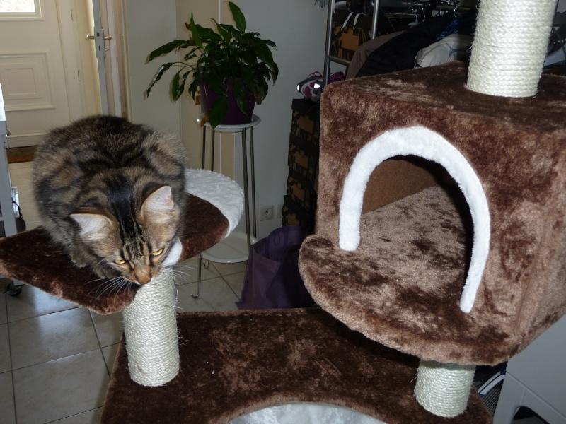 HALF, chaton tigré aux poils longs, né vers le 15 Avril 2012 P1040911