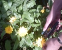 Travaux d'automne au jardin : rien ne se perd, tout se transforme ! Soucis10