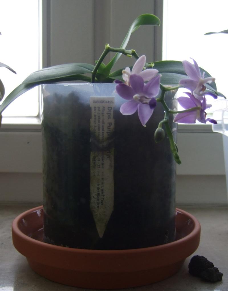 SemiHydrokultur bei Orchideen Algen_14