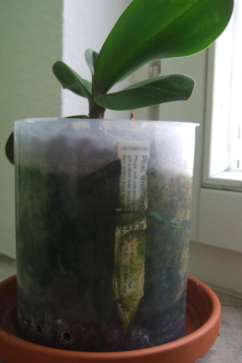 SemiHydrokultur bei Orchideen Algen_15