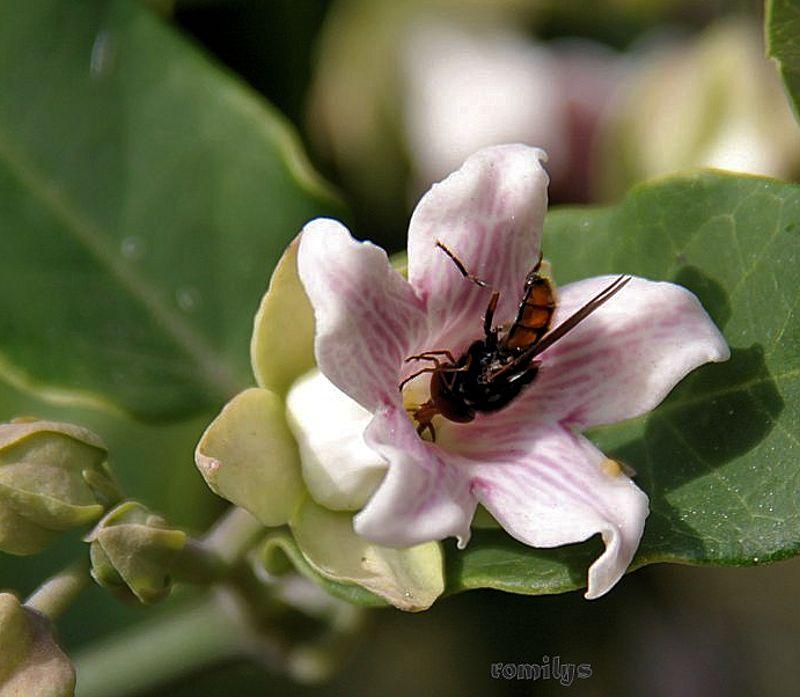 Seidenpflanzengewächse (Asclepiadoideae) Bluete11