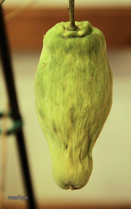 Seidenpflanzengewächse (Asclepiadoideae) Image110