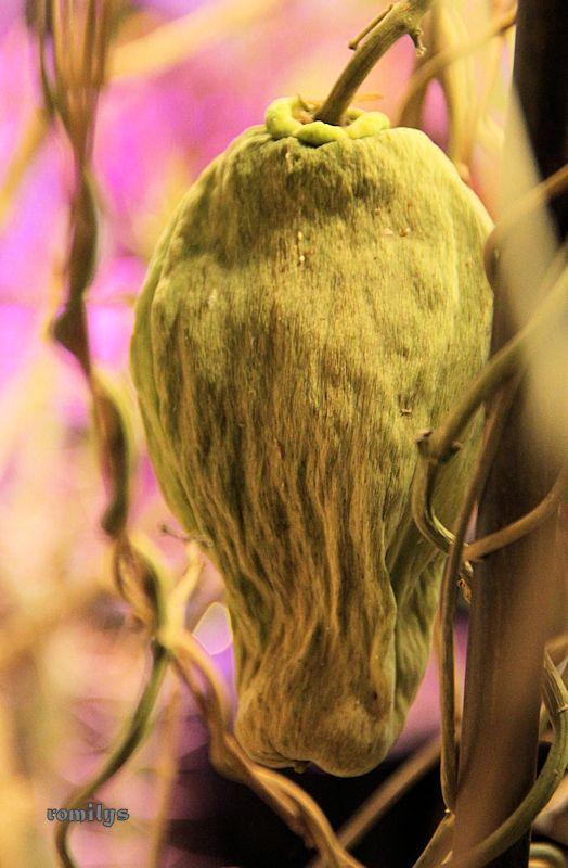 Seidenpflanzengewächse (Asclepiadoideae) Image210