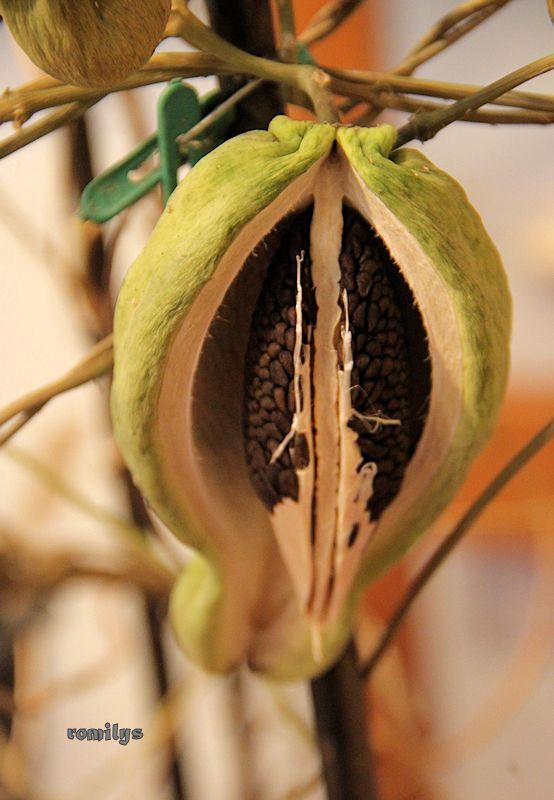 Seidenpflanzengewächse (Asclepiadoideae) Image310