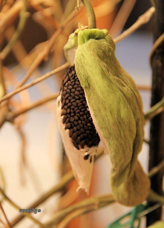 Seidenpflanzengewächse (Asclepiadoideae) Image410