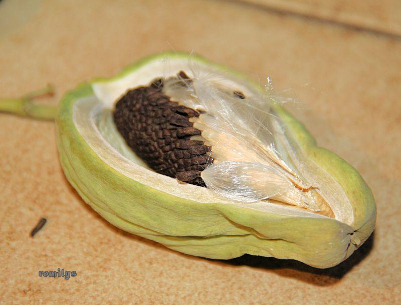 Seidenpflanzengewächse (Asclepiadoideae) Image510