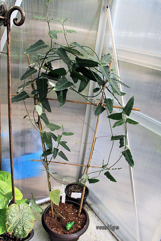 Seidenpflanzengewächse (Asclepiadoideae) Okt20110