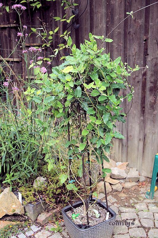 Seidenpflanzengewächse (Asclepiadoideae) Sommer10