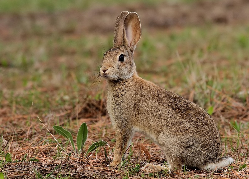 Para empezar a hablar del conejo (Oryctolagus cuniculus) Conejo10