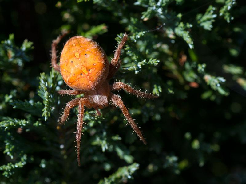 Araneus diadematus? _dsk1010