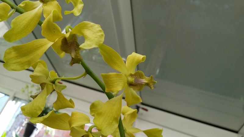 dendrobium phalaenopsis jaune / vert , un nouveau pensionnaire 20161110