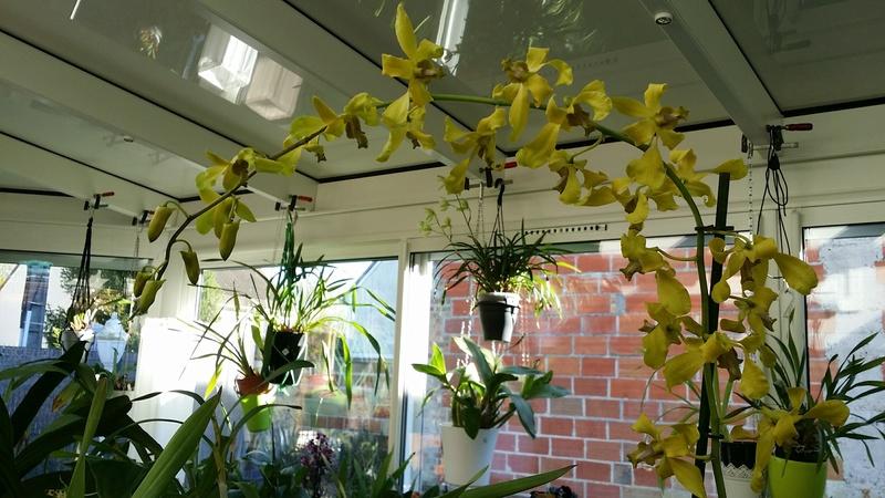 dendrobium phalaenopsis jaune / vert , un nouveau pensionnaire 20161111
