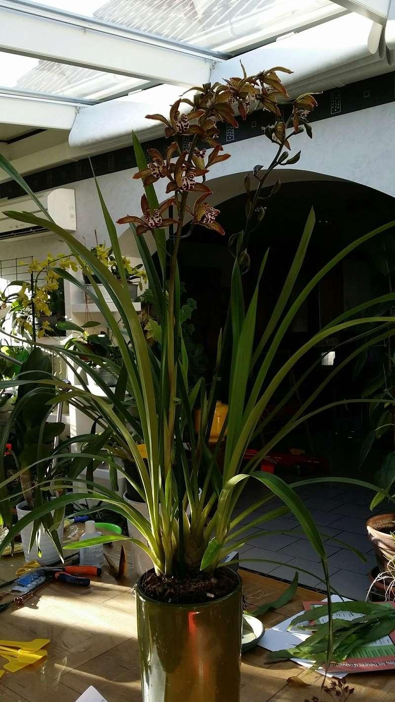 cymbidium erythraenum x tracyanum 20161121