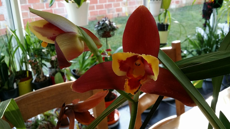Lycaste macrophylla x Angulocaste red jewel 20161248