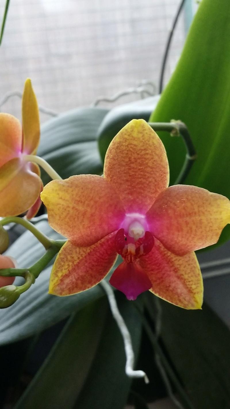 phalaenopsis magical - Page 2 20161268