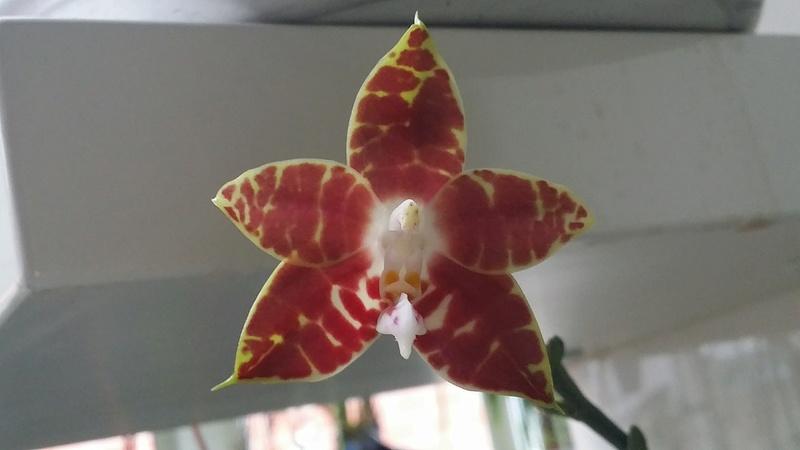 phalaenopsis ambonosa (Amboinensis x venosa red) 20161272