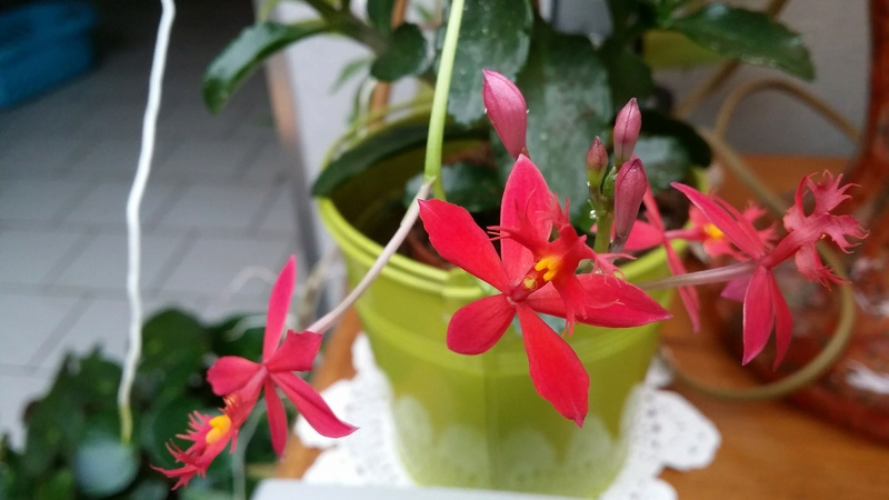 epidendrum ibaguense - Page 2 20170131