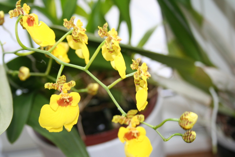 oncidium pluie d'or - Page 4 Img_3816