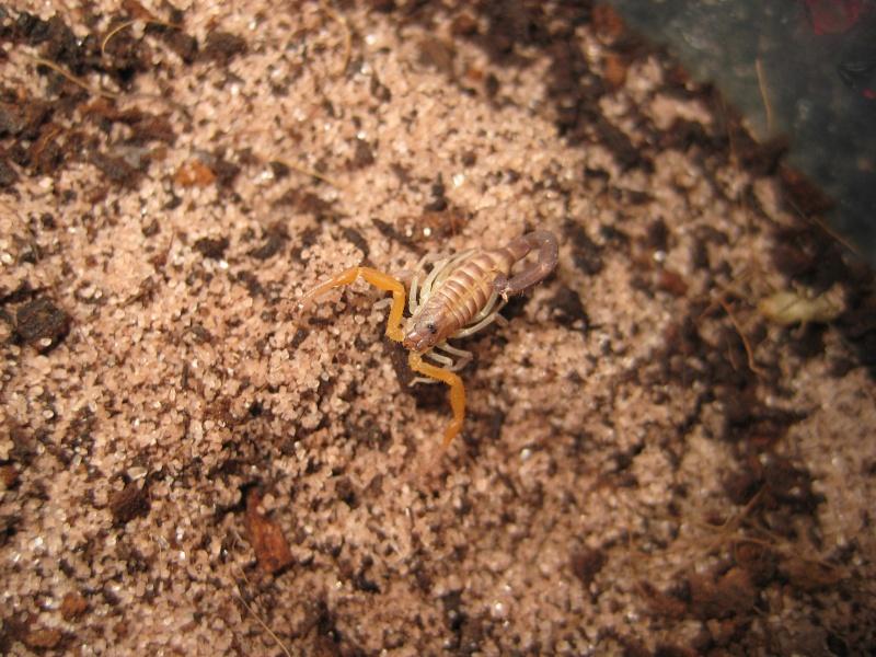Grosphus Grandidieri Brood Scorps11