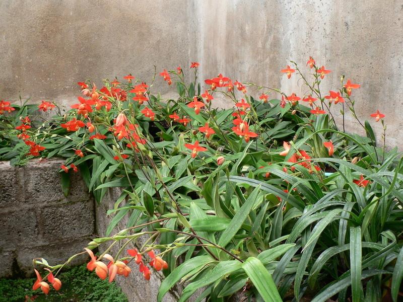 Discussion autour de Phragmipedium kovachii - Page 5 Photos16