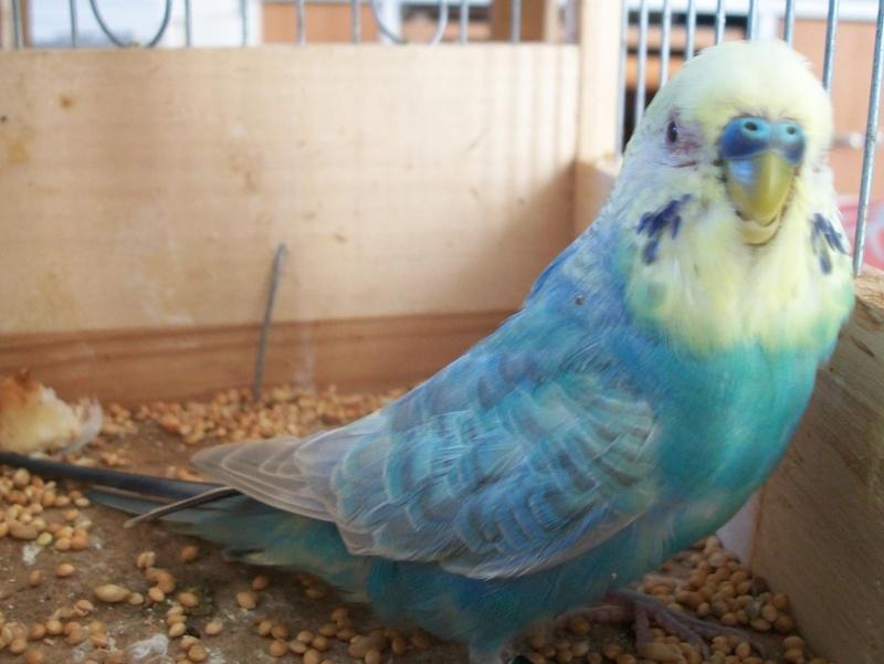 graisse sur tout le plumage 100e1010
