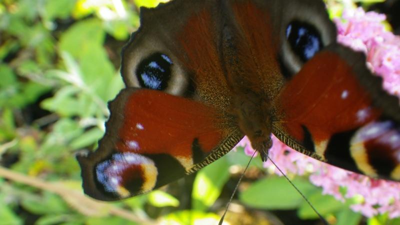Jolis papillons Imgp0613