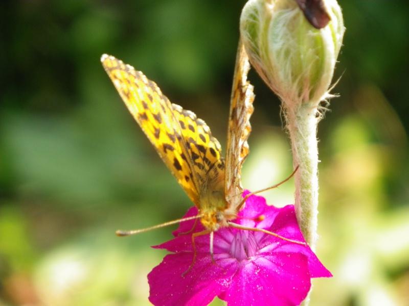 Jolis papillons Imgp0912
