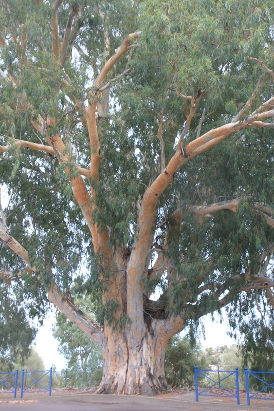 Eucalyptus calmadulensis Eucal_10
