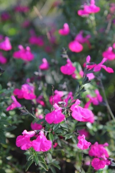 Salvia - identification des sauges - Page 6 Salvia10