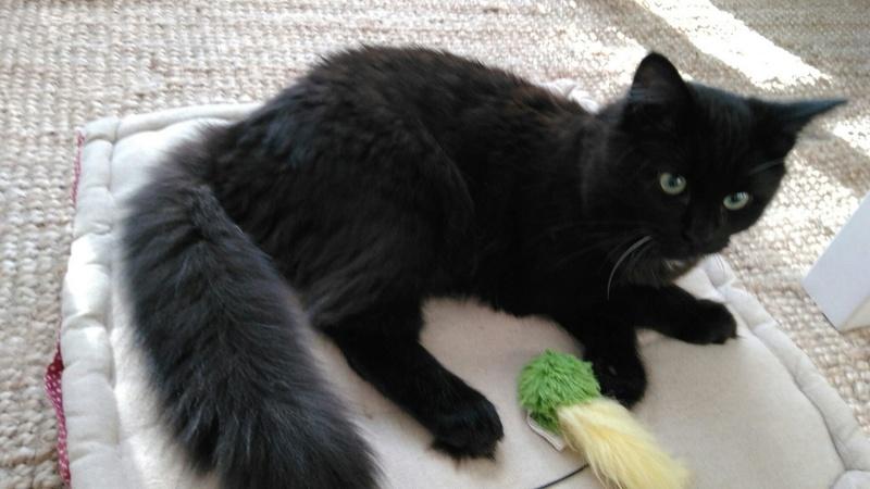 martin - MARTIN,chaton mâle noir,né le 08/06/16 Jules_10