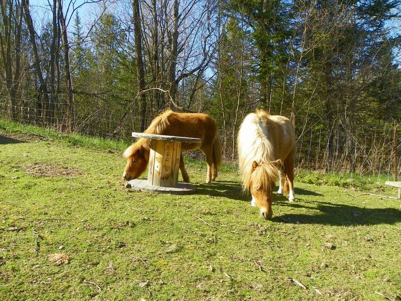 mes boucs attaquent mon cheval  100_2610