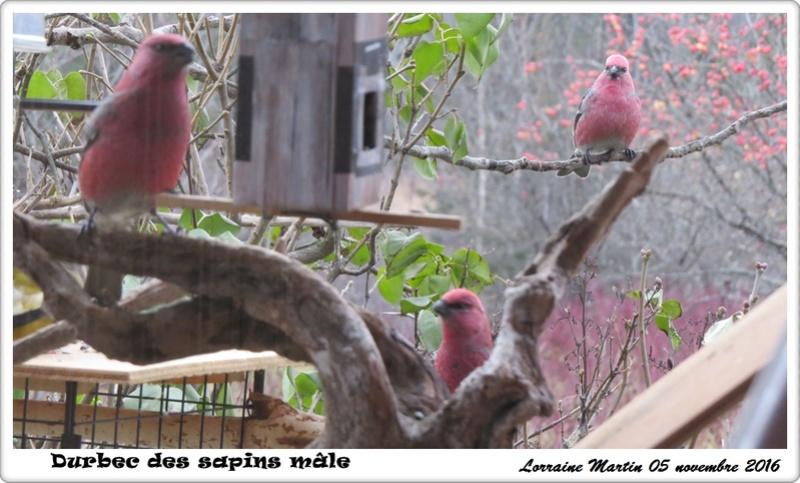 Durbecs 4 mâles chez moi Durbec17
