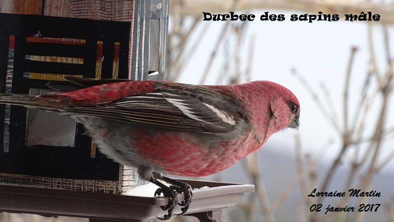 Durbec des sapins mâle  Durbec55