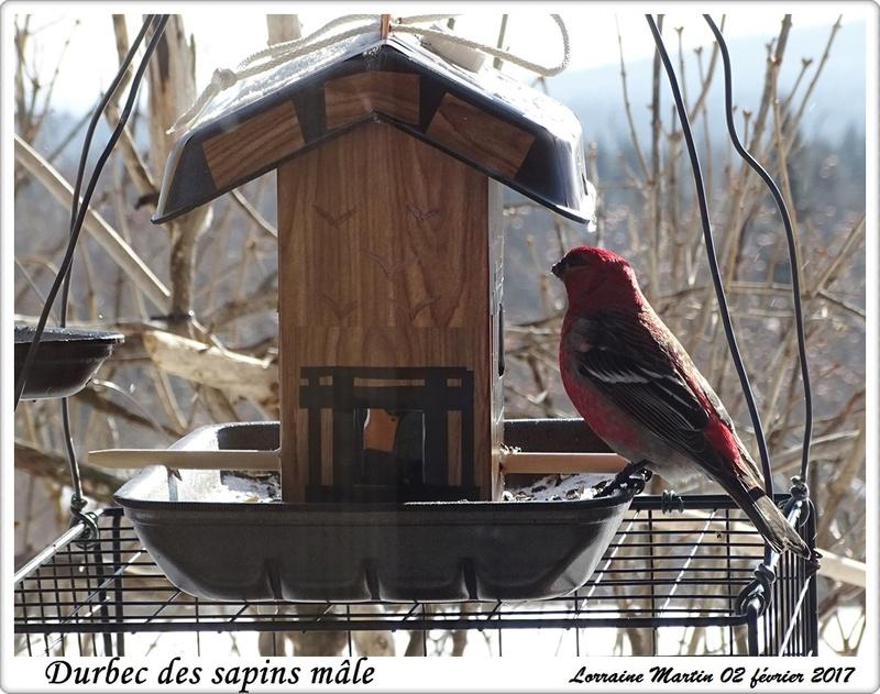 Durbec des sapins  Durbec59